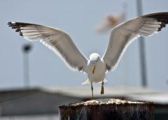 ▶️Vídeo: PORTO – Gaivotas atacam pessoas em busca de comida